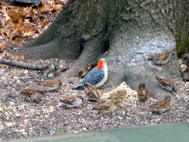 Sparrows and a Woodpecker
